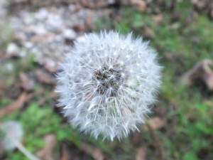 Seed head of a Yellow Dandelion (Teraxacum)