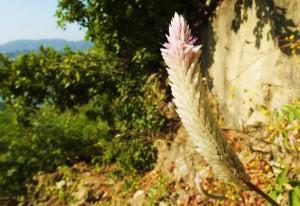 Silver Cockscomb, Thalapur, Bhoj Balag, Morni hills (November)