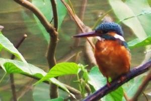 Small Blue Kingfisher, WII, Dehradun