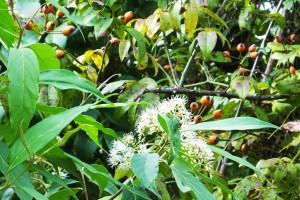 Small Flowered Crape Myrtle?? Benog