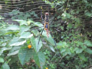Spider devours a wasp, Laldhang forest range