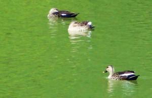 Spot-billed ducks, WII, Dehradun