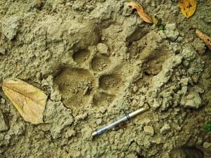 Tiger pugmarks, Chilla forest range, Rajaji NationalPark
