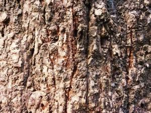 Tiger rake marks - Chilla forest range