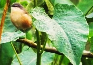 White-browed Bush Robin, WII Dehradun