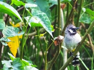 White-earred, yellow vented Bulbul, WII