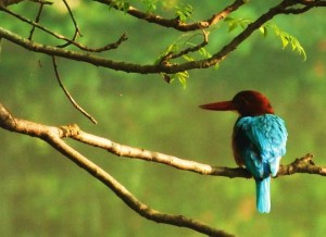 White-throated Kingfisher, WII, Dehradun
