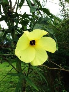 Wild Lady Finger Flower, WII