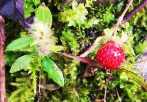 Wild Strawberry, Benog