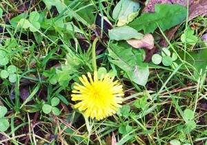 Yellow Dandelion, Walk to Benog