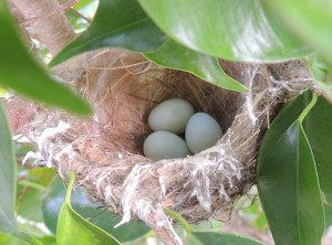 Nest and eggs of Oriental White-eye, Valley of Tikkar, Morni Hills (Photo courtesy KS Bains, April)