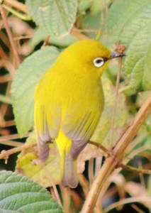 Oriental White-eye, Valley of Tikkar, Morni hills (Photo courtesy KS Bains)
