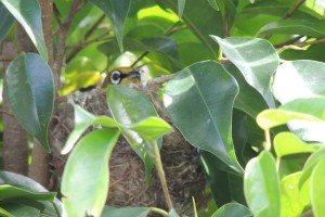 Oriental White-eye incubating her eggs, Valley of Tikkar, Morni Hills (Photo courtesy KS Bains, April)