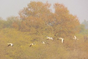 Bar-headed Goose (In Flight) January, 2014 Sukhna Wetland (Photo courtesy Kuljit Bains)
