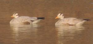 Bar-headed Goose January, 2014 Sukhna Wetland (Photo courtesy Kuljit Bains)