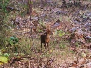 Barking Deer, Taroba-Andhari Tiger Reserve