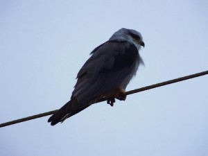 Black-winged Kite, Ramdegi, Taroba-Andhari Tiger Reserve