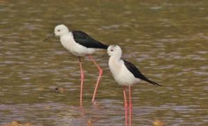 Black-winged Stilt, January, 2014 Sukhna Wetland (Photo courtesy Kuljit Bains)