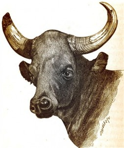 Bull Bison-The Highlands of Central India, Capt. J.Forsyth (1871)