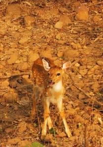 Chital fawn, Taroba-Andhari Tiger Reserve