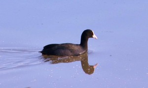 Common Coot, December 2011 - Sukhna Wetland (Photo courtesy Rajesh Pandey)