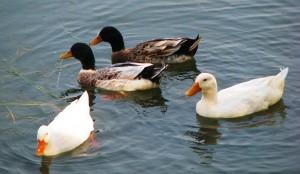 Farm Ducks? Sukhna Wetland, November 2011