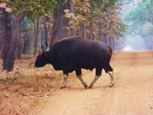 Gaur (Indian Bison) Taroba-Andhari Tiger Reserve