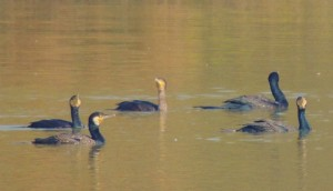 Great Cormorants, January, 2014 Sukhna Wetland (Photo courtesy Kuljit Bains)
