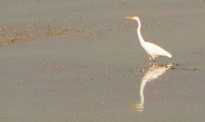 Great Egret, Sukhna Wetland, November 2011