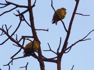 Green Pigeons, Taroba-Andhari Tiger Reserve