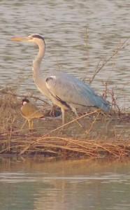 Grey Heron, Sukhna Wetland- January 2014 (Photo courtesy Kuljit Bains)
