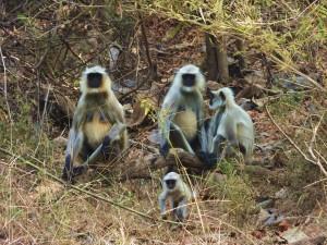 Grey-Langur family, Taroba-Andhari Tiger Reserve