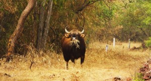 Indian Bison (Gaur), Taroba-Andhari Tiger Reserve