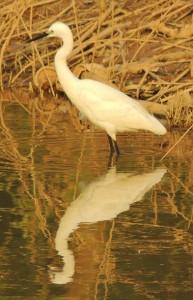 Little Egret, January, 2014 Sukhna Wetland (Photo courtesy Kuljit Bains)