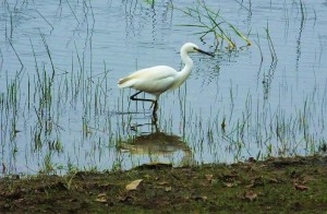Little Egret, Taroba lake, Taroba-Andhari Tiger Reserve