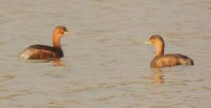 Little Grebe, Sukhna Wetland, January 2014 (Photo courtesy Kuljit Bains)