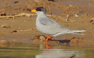 Little Tern, January, 2014 Sukhna Wetland (Photo courtesy Kuljit Bains)