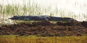 Marsh Crocodile, Taroba lake, Taroba-Andhari Tiger Reserve