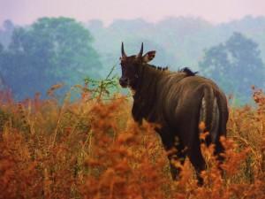 Nilgai-bull, Ramdegi, Taroba-Andhari Tiger Reserve