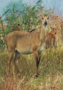 Nilgai cow,  Ramdegi, Taroba-Andhari Tiger Reserve