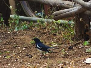 Oriental Magpie Robin, Moharli, Taroba-Andhari Tiger Reserve