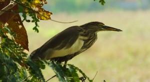 Pond Heron, Moharli, Taroba-Andhari Tiger Reserve