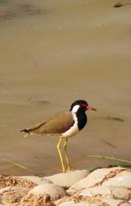 Red-wattled Lapwing, Sukhna Wetland, November 2011