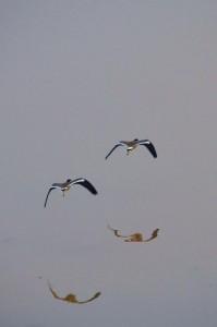 Red-wattled Lapwings, November 2011 - Sukhna Wetland (Photo courtesy Rajesh Pandey)