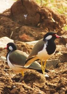 Red-wattled Lapwings, Ramdegi, Taroba-Andhari Tiger Reserve