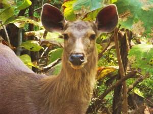 Sambar-Mug Shot! Andhari Tiger Reserve