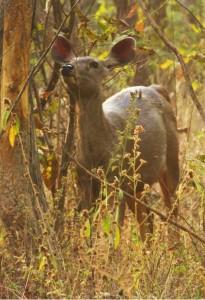 Sambar deer, Taroba-Andhari Tiger Reserve