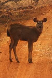 Sambar fawn, Taroba- Andhari Tiger Reserve