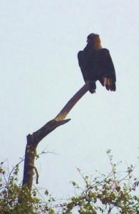 Serpent Eagle, Taroba-Andhari Tiger Reserve