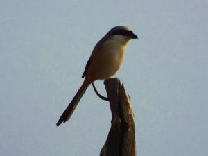 Shrike, Ramdegi, Taroba-Andhari Tiger Reserve